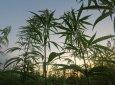 这五大理由令你选择小盘大麻股而非大盘股