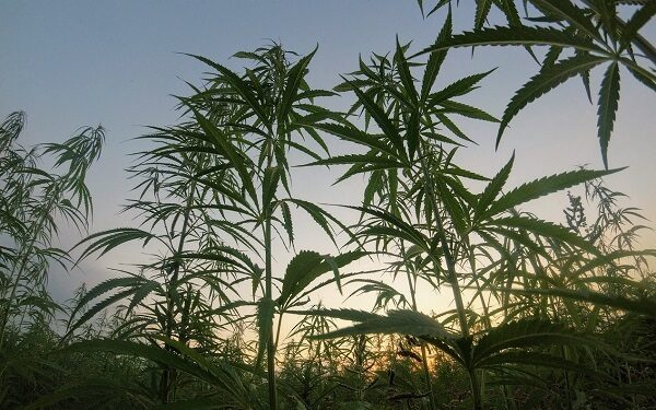 小盘大麻股