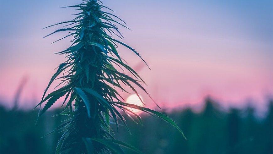 """2天上漲80%,""""大麻界亞馬遜""""Namaste股價回歸"""