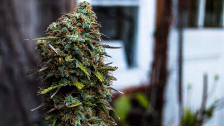 """大麻股不全是""""吞金獸"""",盈利能力最强的5只大麻股"""