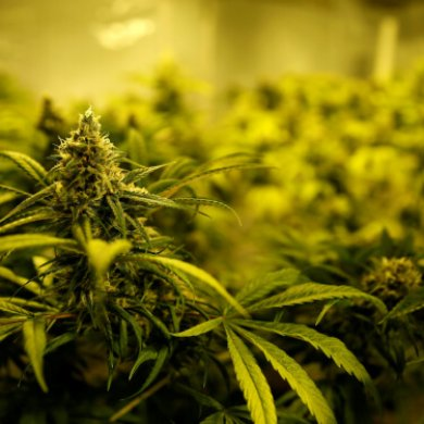 Stifel收购GMP的业务,瞄准美国的大麻并购机会
