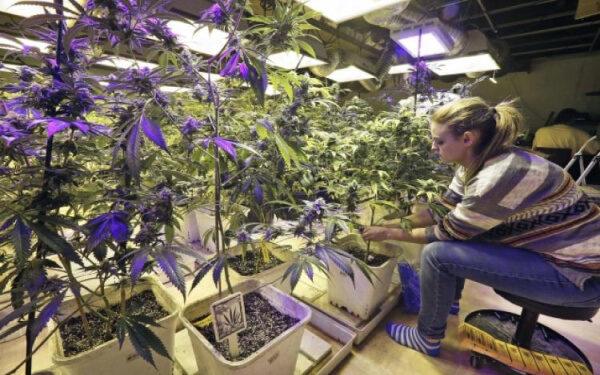 大麻股 销售额