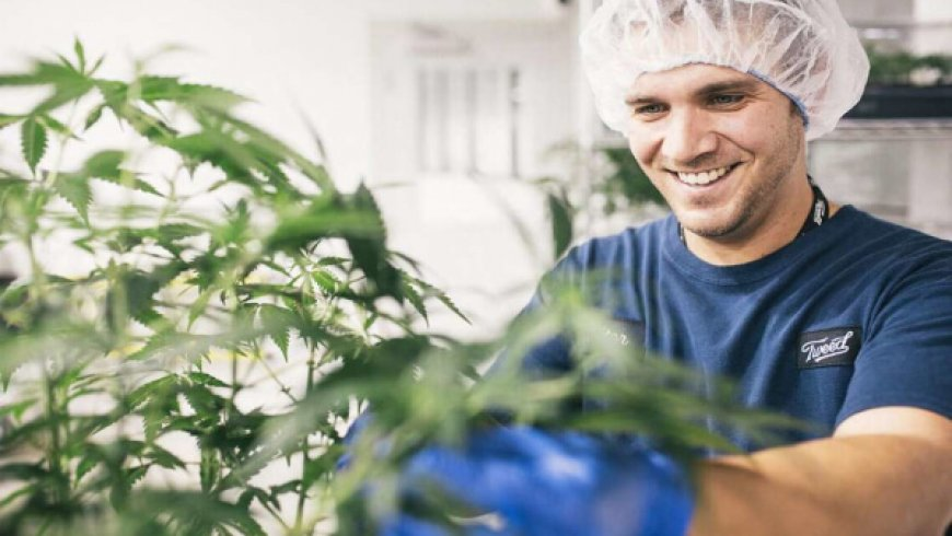 繼續發力藥用大麻市場,Canopy Growth收購Beckley Canopy