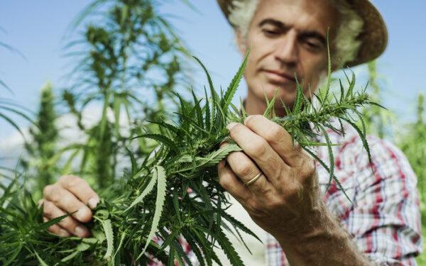 大麻二酚(CBD) 美國工業大麻 加拿大大麻種植商