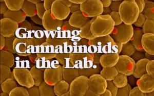 酵母合成大麻素