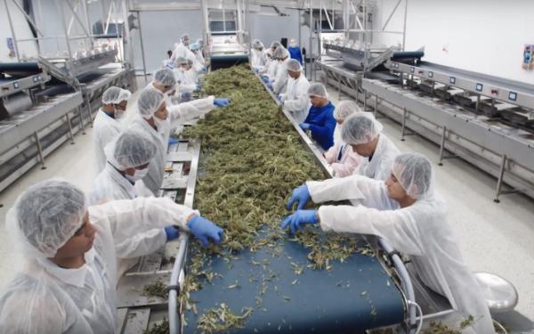 加拿大大麻生产商