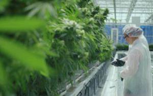 参议院推动大麻改革,大麻股大涨