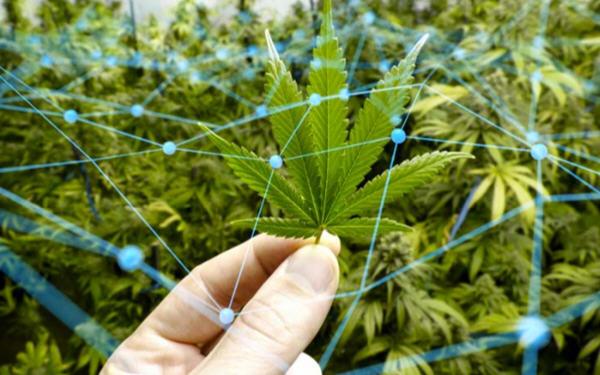当大麻行业遇上区块链